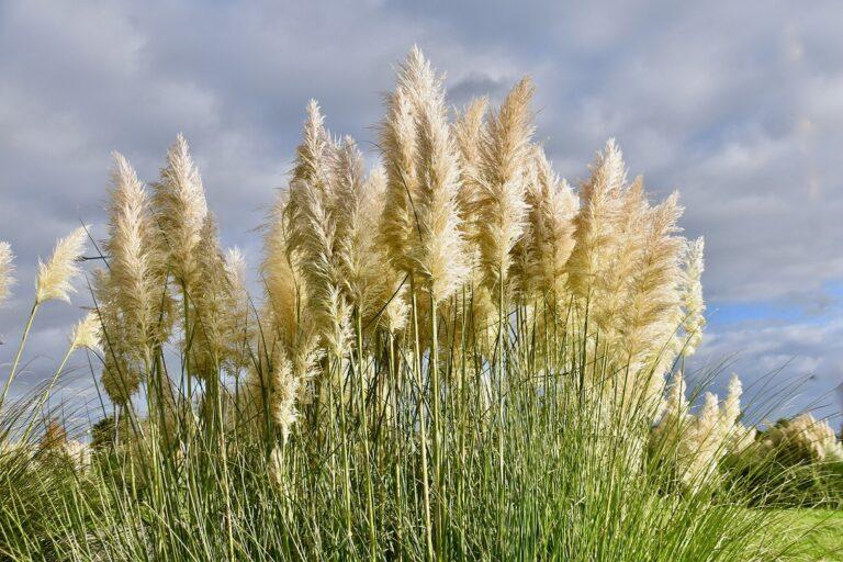 L'herbe de la pampa : comment cultiver et soigner l'herbe de la pampa